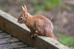 Photo : Red squirrel (3)