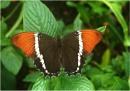 Rusty-tipped Page, Siproeta epaphus by johnriley1uk
