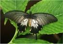 Great Mormon, Papilio memnon by johnriley1uk