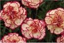 White Ground Fancy Carnations by johnriley1uk