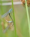 Damsel Flies by Ted447