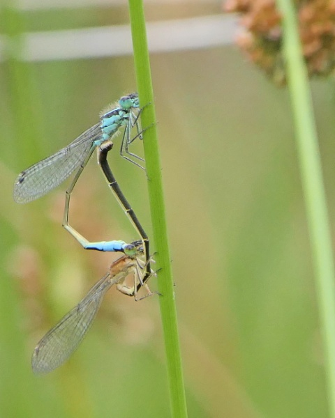 Damsel Flies by Ted447