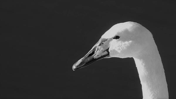 Swan by louneson