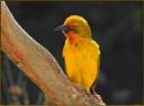 Cape weaver male by fotobee