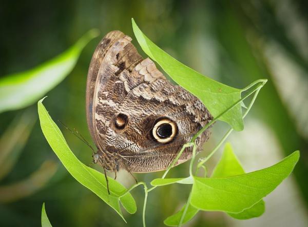 Owl Butterfly by DaveRyder