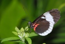 Postman Butterfly - Heliconius melpomene by DaveRyder
