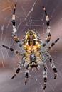 Garden Spider-Araneus diadematus. by bobpaige1