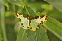 Clouded Border Moth-Lomaspilis marginata.