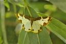 Clouded Border Moth-Lomaspilis marginata. by bobpaige1