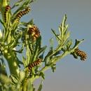 Cinnabar Moth Caterpillars by bobpaige1