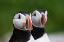 Farne Island Puffins by nobby1