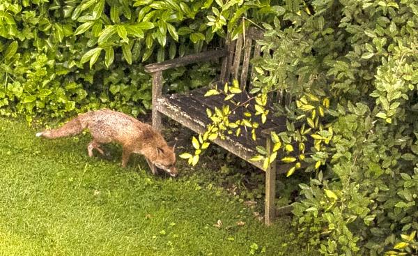 urban fox by peterjay80