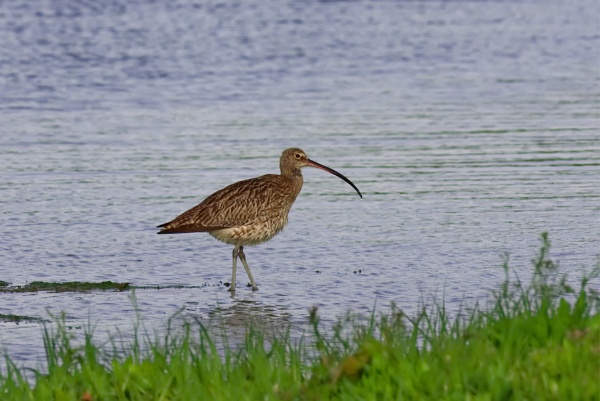 Curlew on the Yar. by simmo73