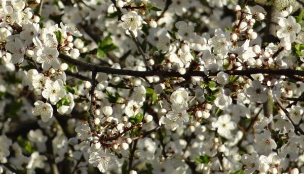 Flowering blast