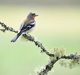 Male chaffinch. (Fringilla coelebs).