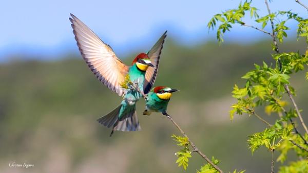 Guêpier d\'Europe (Merops apiaster) - European Bee-eater by kris34