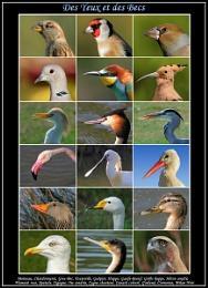 Les différents yeux et becs des oiseaux