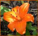 Orange Lily by Rock
