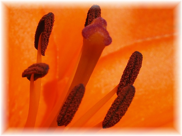 lilly stamens by derekd