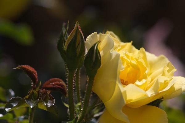 Rose I & II by digital_boi