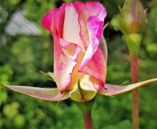 Rosebud by rosej