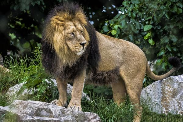 Lion by chensuriashi