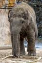 Baby Elephant by chensuriashi