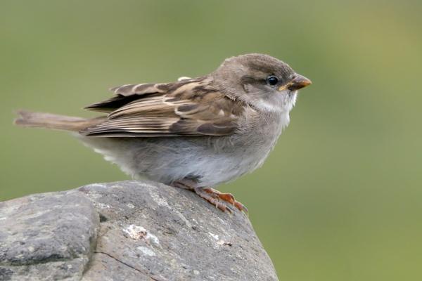 Small Sparrow by joshwa