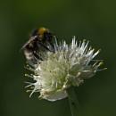Bee on allium by oldgreyheron