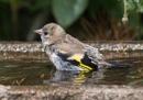 Juvenile goldfinch by oldgreyheron