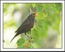 Scrumping Blackbird by Maiwand