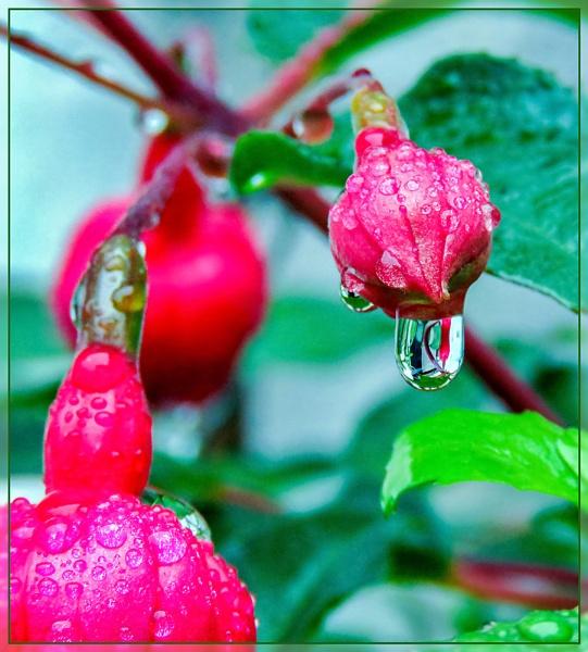 Raindrops On Fuschia by Sylviwhalley
