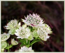Astrantia by Sylviwhalley