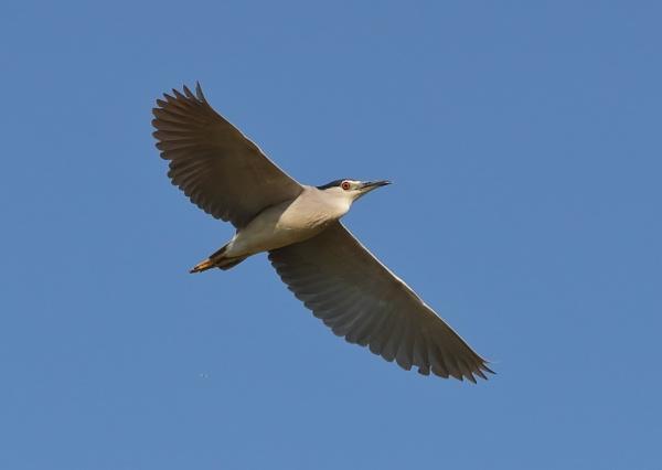 Night Heron in Flight
