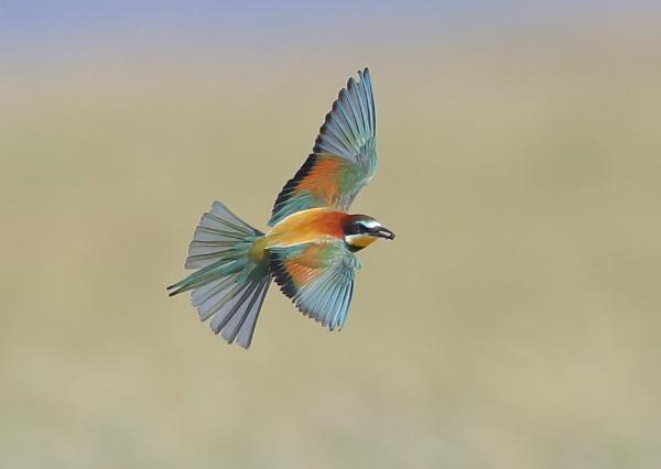 European Bee Eaters in Flight by NeilSchofield