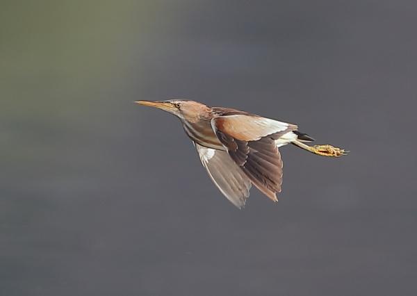 Little Bittern In Flight Sequence by NeilSchofield