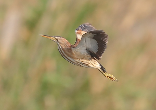 Little Bittern in Flight by NeilSchofield