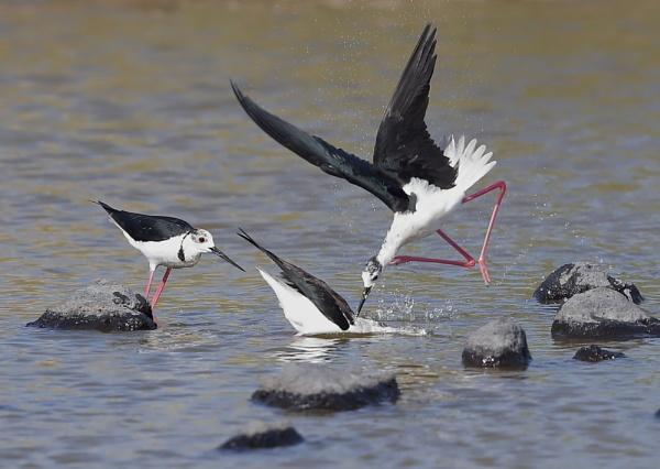 Black Winged Stilt Aggression by NeilSchofield