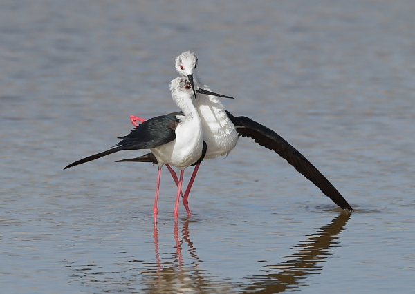 Blackwinged Stilt Post Mating Pose by NeilSchofield
