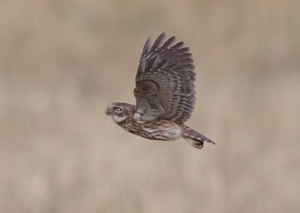 Little Owl in Flight by NeilSchofield
