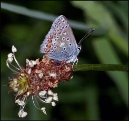 Common Blue-Polyommatus icarus 02.