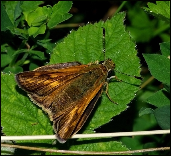 Small Skipper-Thymelicus sylvestris. by Badgerfred