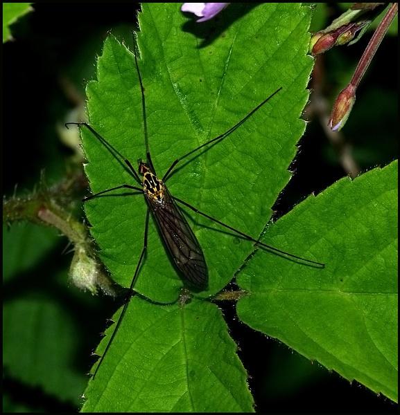 Tiger Cranefly-Nephrotoma quadrifaria. by Badgerfred