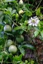 Passion Flower & Fruits by prabhusinha