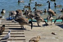 A Gaggle of geese by peterthowe