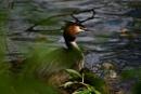 Nesting Grebe by peterthowe