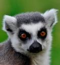 Lemur by peterthowe