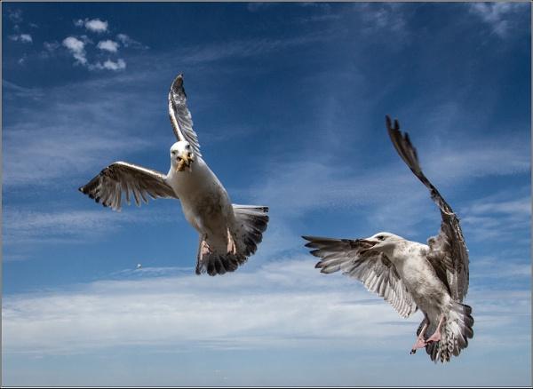 Squabbling Gulls by Otinkyad