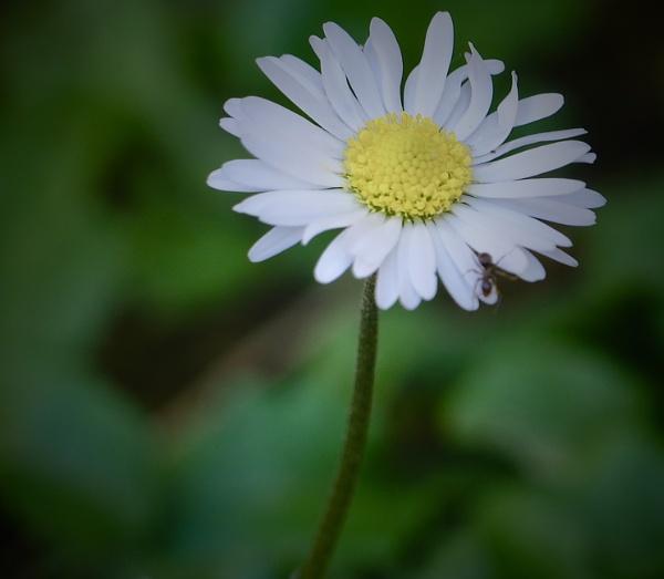 just a simple daisy by sparrowhawk