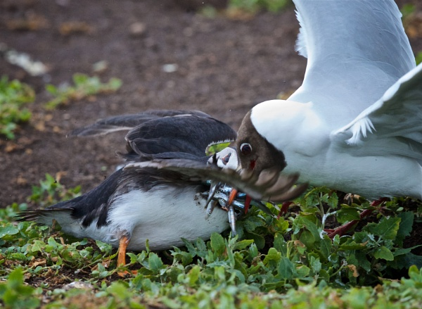 When gulls attack by mjparmy